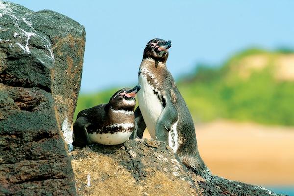 Galapagos; Penguins