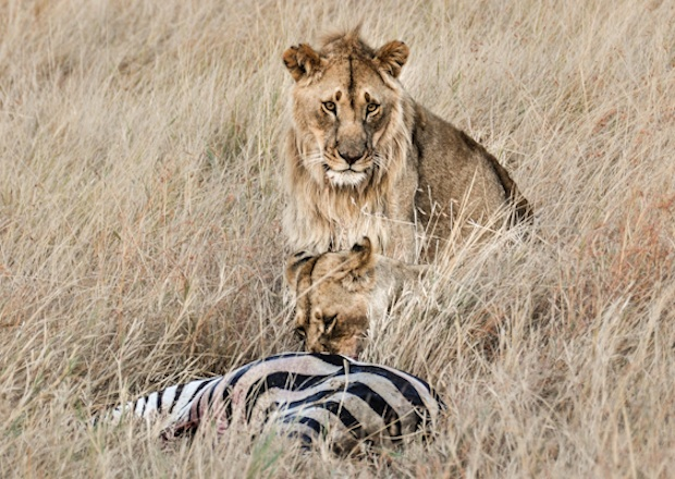 Lions and zebra  Pin It: Travel the World   Lions of the Masai Mara