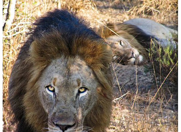 lion brothers phinda game reserve