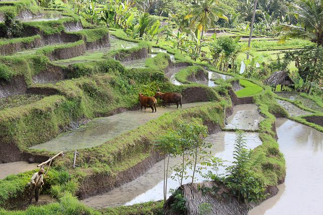 IMG 3707 Bucolic Bali (PHOTOS)