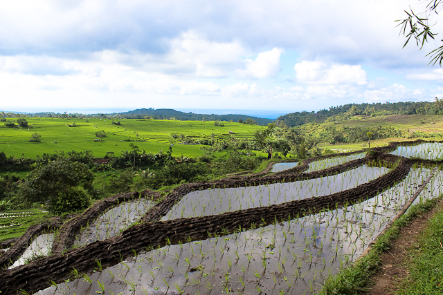 bali countryside - rice terraces
