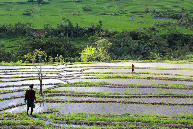 farmers harvesting rice - eastern bali