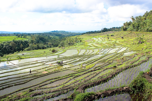 Rice Terraces of Tenganan in East Bali