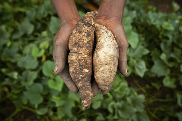 cassava in arusha, tanzania