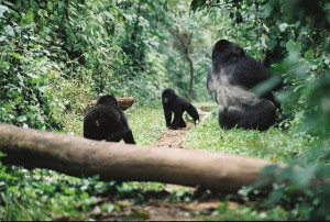Good Hygiene May Save the Gorillas in Uganda