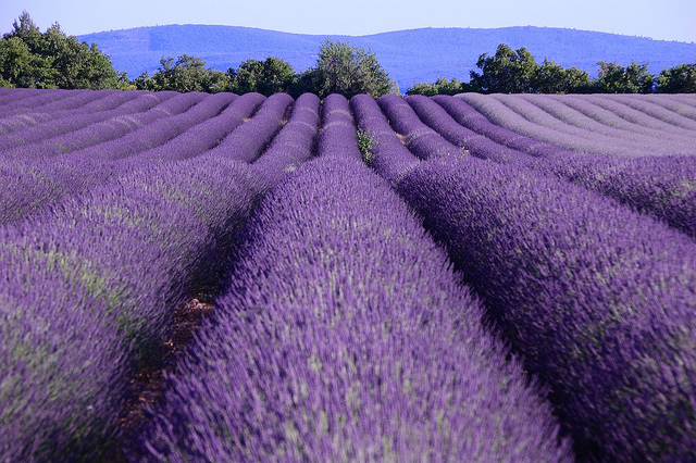lavender route In Provence, a Taste of Culinary Splendor, History, and the Regions Natural Wonders