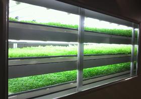 Mitsubishi cultivation