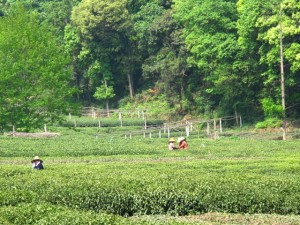 Tea village Hangzhou 300x225 Get Cultured: Shanghai   A Local Guide to the Paris of the East