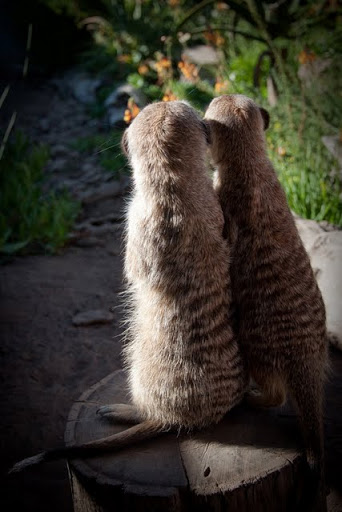 Meercats at Cheetah Outreach in Western Cape South Africa