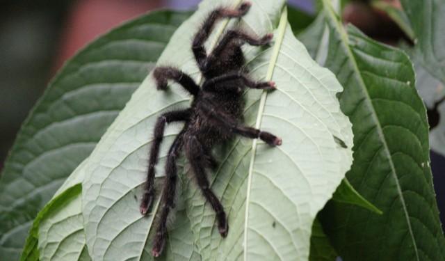 Pink toed tarantula