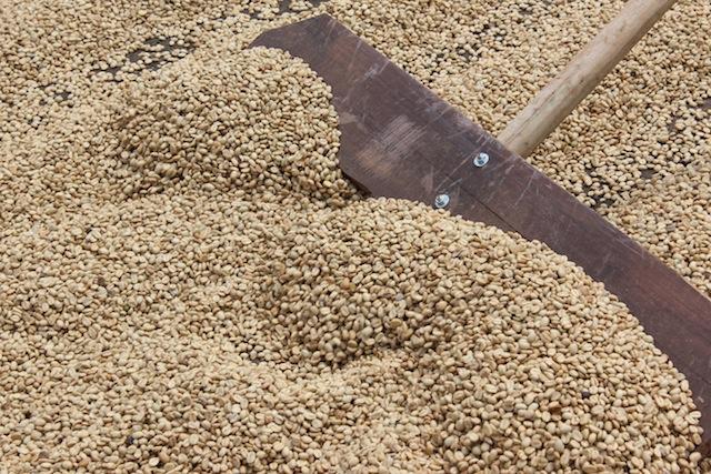 Raking the Coffee at Doka Coffee Estate