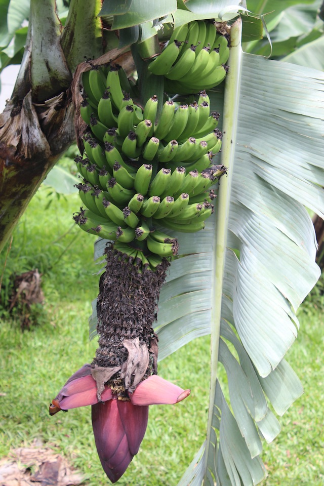 Banana Tree at Doka Coffee Estate Costa Rica